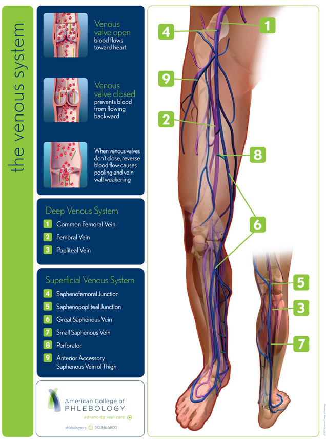 Vein Anatomy Laser Vein Center Of Alaska